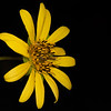 Slender rosinweed