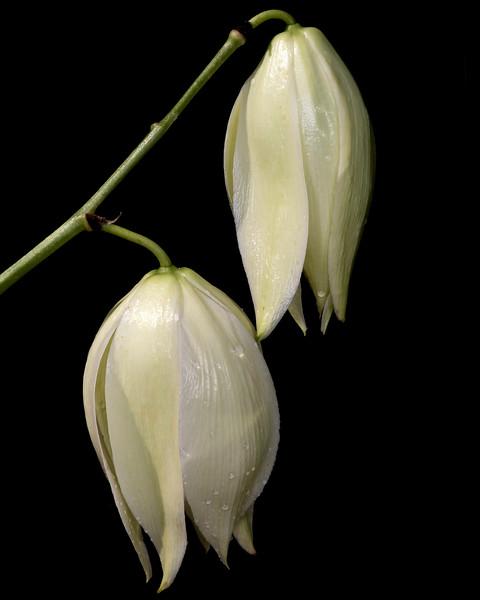 Twistleaf yucca