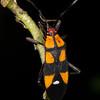 Talayote with six-spotted milkweed bug