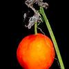 Balsam gourd