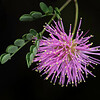 Pink mimosa
