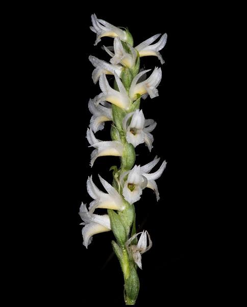 Great Plains ladies' tresses orchid