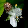 Small-leaf spiderwort