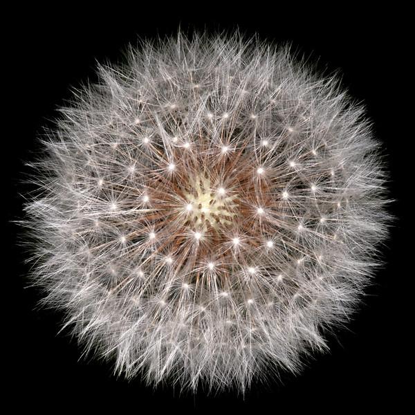 Common dandelion seed head