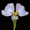 Erect dayflower (white)