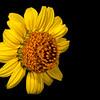 Awnless bush sunflower