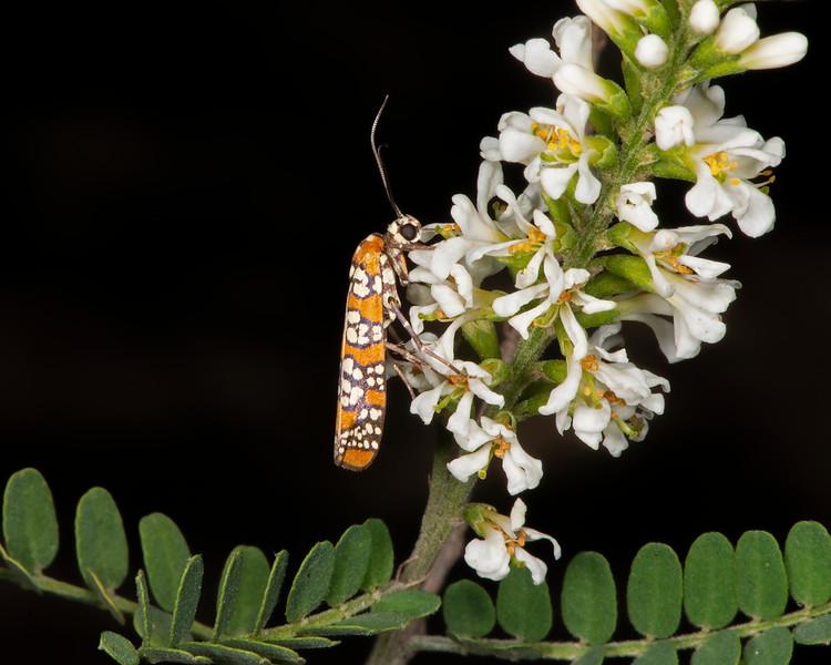 Texas kidneywood with ailanthus webworm moth