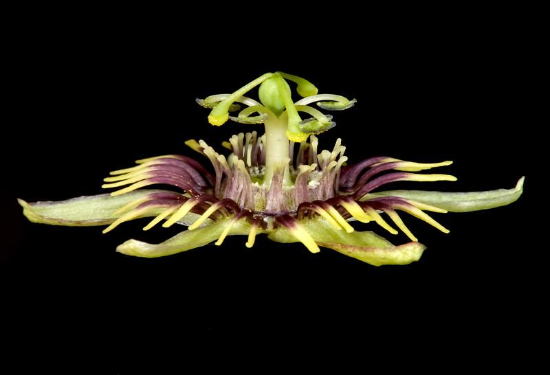 Birdwing passionflower