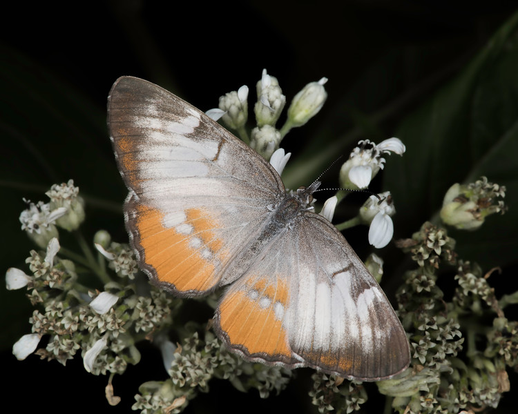 Frostweed with common mestra
