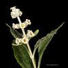 Wand butterflybush
