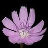 Texas skeleton plant