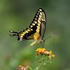 Texas lantana with giant swallowtail