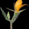 Stick-leaf mentzelia