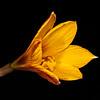 Rio Grande copper lily