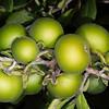 Texas persimmon