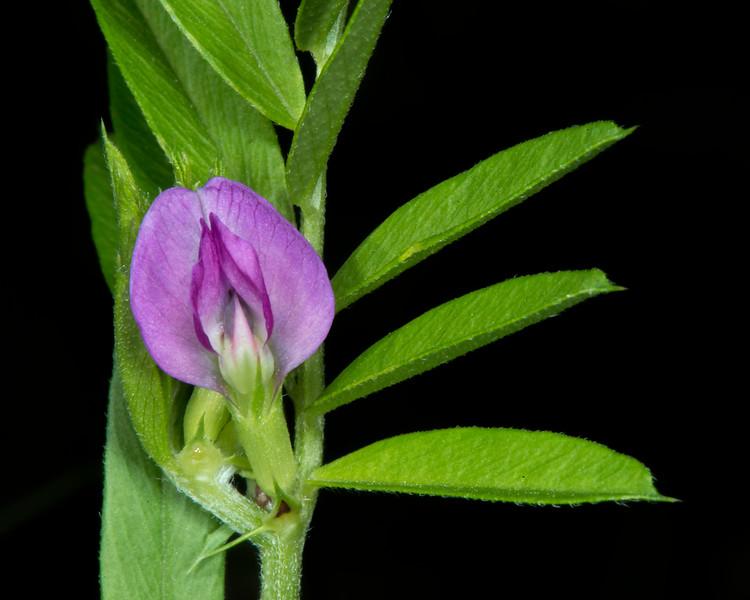 Narrow-leaf vetch