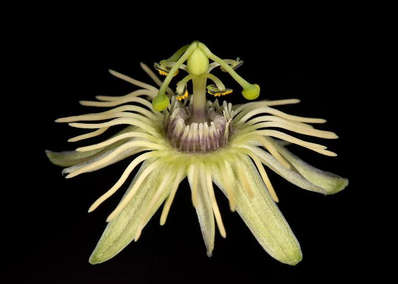 Yellow passionflower