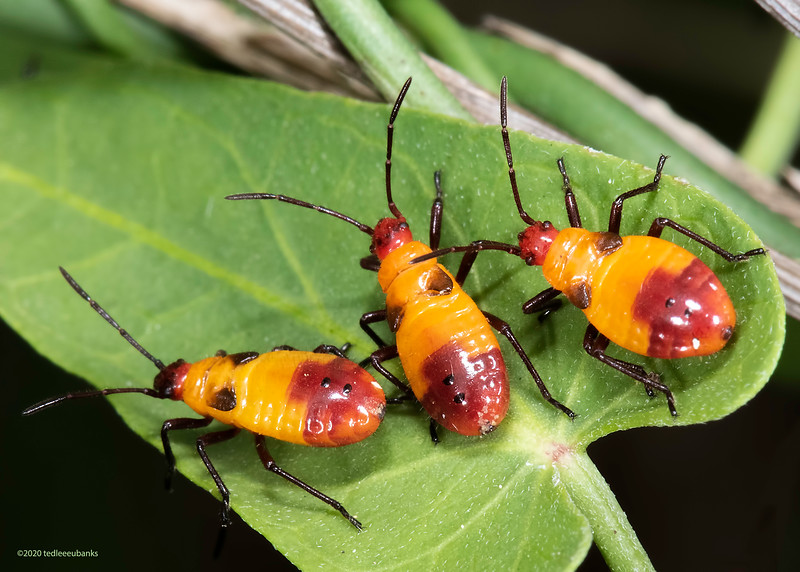 Six-spotted milkweed bug nymphs