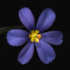 Narrowleaf blue-eyed grass
