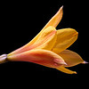Copper rain lilly