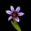 Dwarf blue-eyed grass
