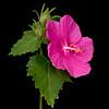 Rose pavonia