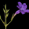 Violet ruellia
