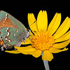 Huisache daisy with juniper hairstreak