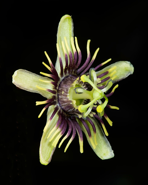 Bird wing passionflower