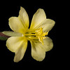 Cutleaf evening primrose