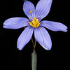 Sword-leaf blue-eyed grass