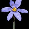 Sword-leaf blue-eyed grass