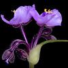 Edwards Plateau spiderwort