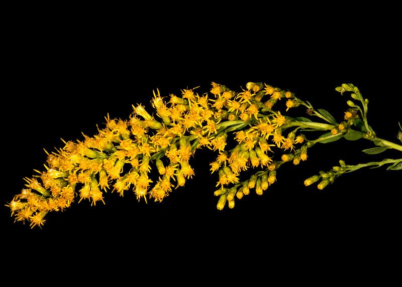 Julia's goldenrod