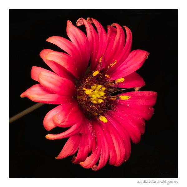 Maroon blanketflower