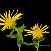 Curly cup gumweed