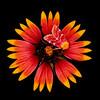 Firewheel with Gaillardia moth