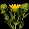 Texas gumweed