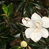 Southern magnolia with Carolina anole