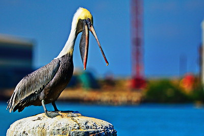 Galveston Shrimp Boat Pier & Pelicans