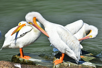 Galveston_Super-Moon_3-White_Pelicans_Preening_D75_0986