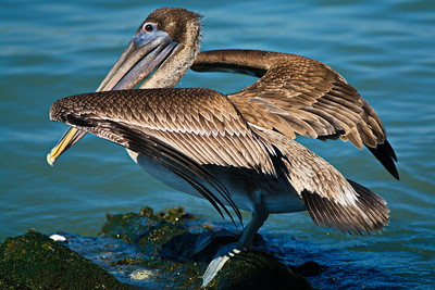 Brown_Pelican_D71_6672