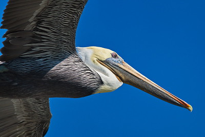 Brown_Pelican_Flying_D71_6670
