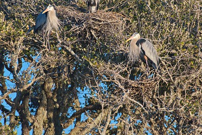 Great Blue Heron Rookery,  Rockport, TX