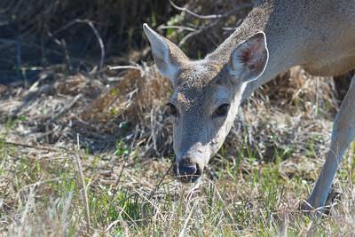 White-tailed Deer at Aransas NWR