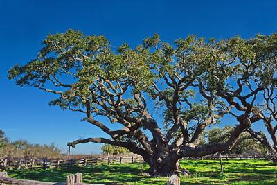 The Big Tree,  Goose Island State Park