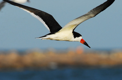 Black Skimmer flying  Quintana Neotropical Bird Sanctuary