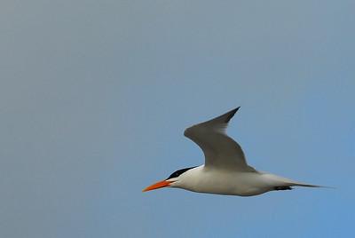 Royal Tern flying over Bolivar Peninsula