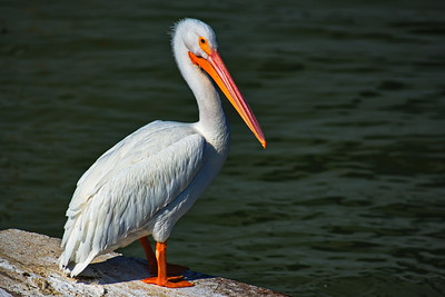 Galveston_Super-Moon_White_Pelican_D75_0990