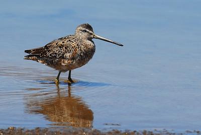 Long-billed Dowitcher  Quintana Neotropical Bird Sanctuary
